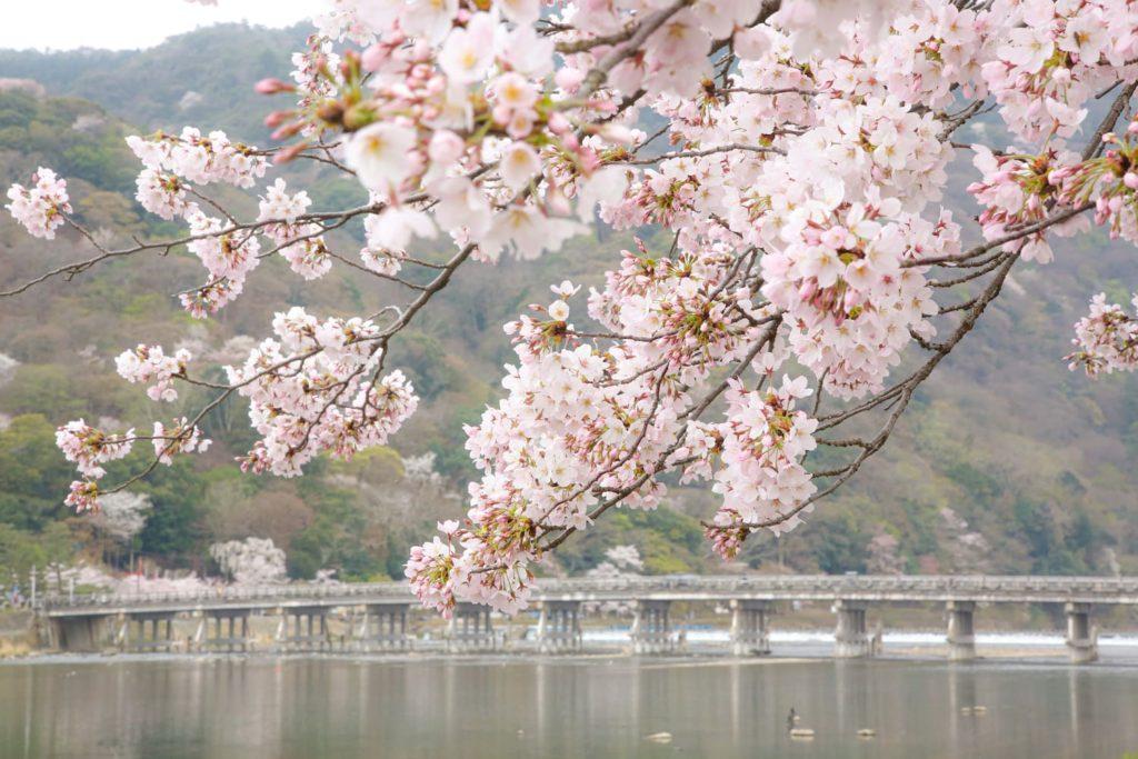 嵐山渡月橋桜